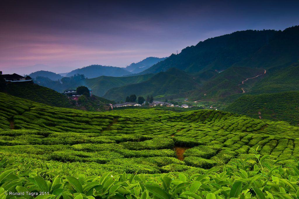 Bharat Tea Plantation, Cameron Highlands, Malaysia backpacking the asian trail