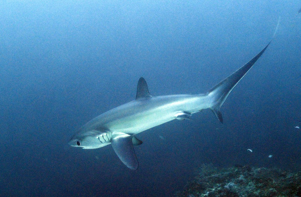 Island adventures diving with thresher sharks in Malapascua Island, Philippines
