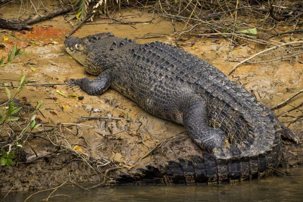 5 metre crocodile in Daintree River in Far North Queensland