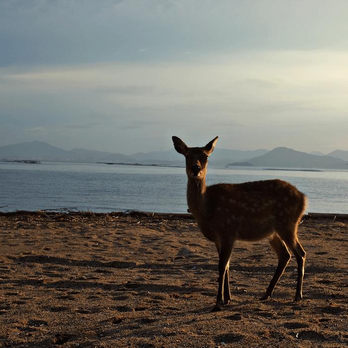 deer on Miyajima Island, hiroshima, japan