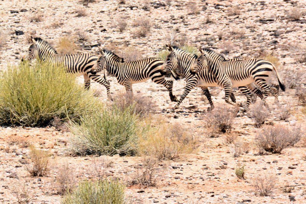 zebras in the Kalahari Augrabies Extreme Marathon