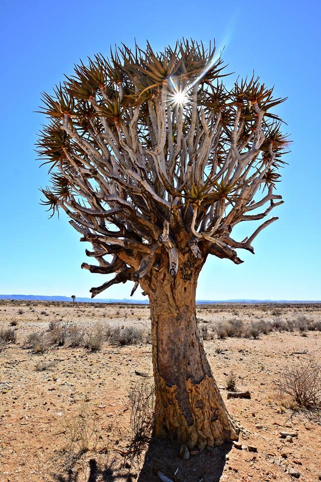 Quiver tree Kalahari Augrabies Extreme Marathon
