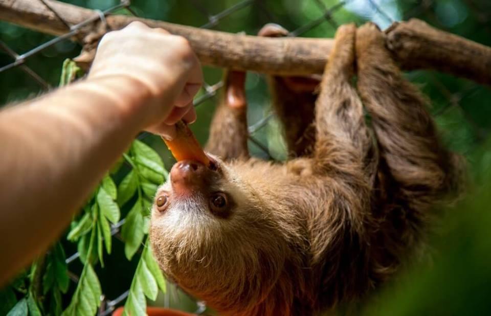Ecotourism in Latin America feeding a sloth